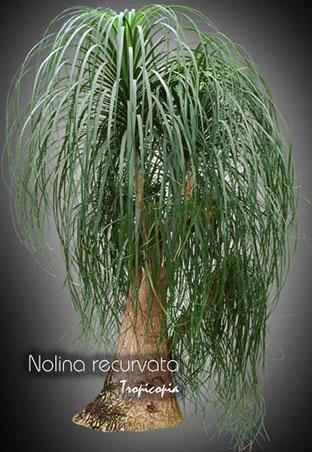 nolina recurvata 28
