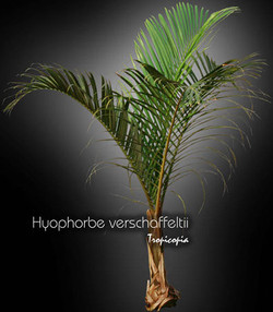 hyophorbe verschaffeltii 14