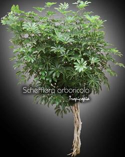 schefflera arboricola 10 tr