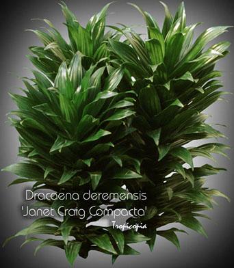 dracaena deremensis janet craig compacta 10 bu