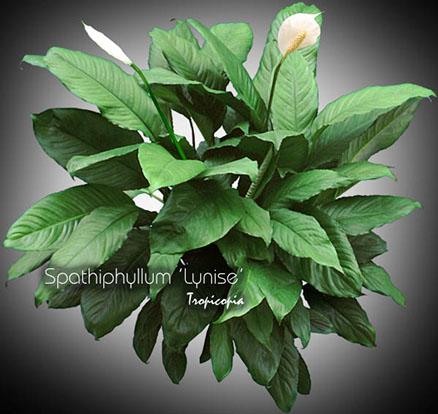 spathiphyllum lynise 10