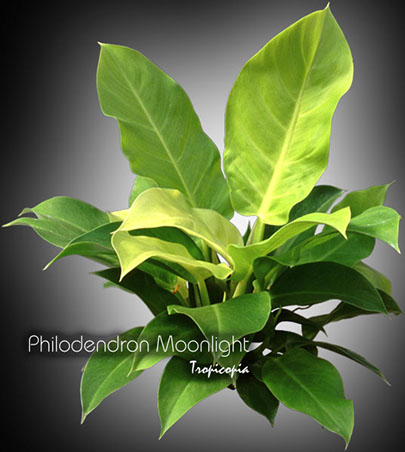 philodendron moonlight 06