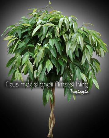 ficus maclellandii amstel king 14 tr