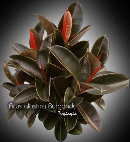 ficus elastica burgandy 10 bu