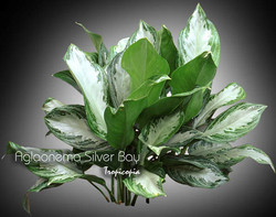aglaonema silver bay 10
