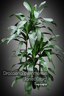 dracaena deremensis janet craig 10 432