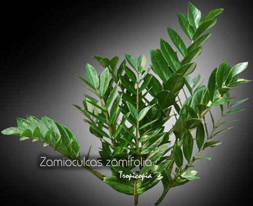 zamioculcas zamiifolia 08