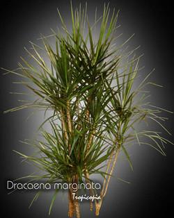 dracaena marginata 10 ex