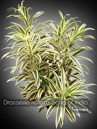dracaena reflexa song of india 10