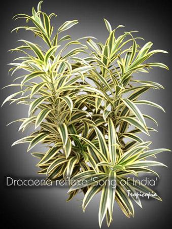 dracaena reflexa song of india 10