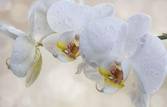 orchids-4920394__480.jpg