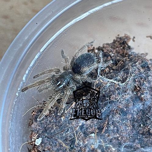 "Euthycaelus sp. cebu 2nd instar (1/2"")"