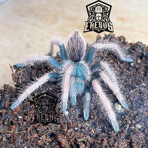 """Pamphobeteus ultramarinus 2-3rd instar (1"""")"""