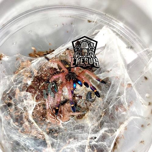 "Ephebopus cyanognathus 2-3 instar (3/4"")"