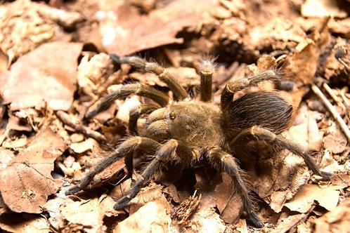 "Pseudhapalopus sp. Gitan 2nd instar (1/4"")"