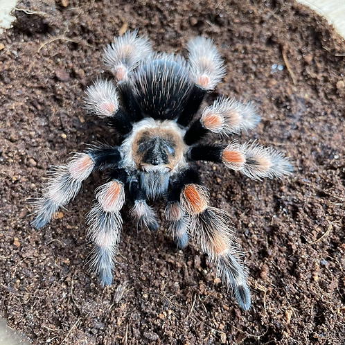 "Brachypelma smithi ex annitha 2nd instar (1/4"")"