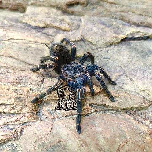"Homoeomma sp. blue II 3-4 instar (3/4"")"