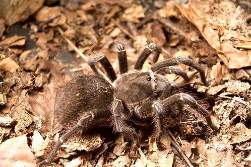 """Pseudhapalopus sp. Torrido 3rd instar (1/2"""")"""