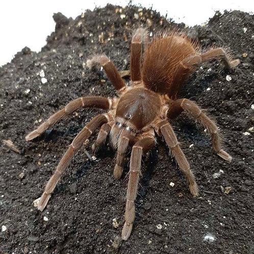 "Sericopelma sp. rambala 2-3 instar (1"")"