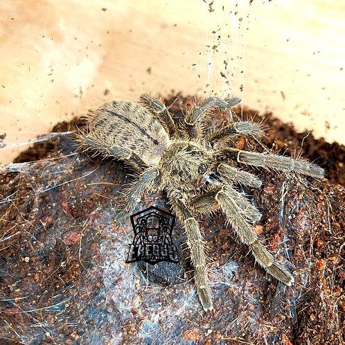 """Cyriopagopus sp. big black 2.5"""" FEMALE"""