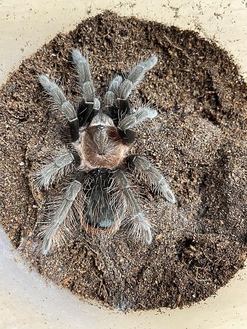 "Tliltocatl sabulosus male 2.5"""