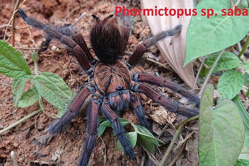 """Phormictopus sp. sabana 2nd instar (1/2"""")"""