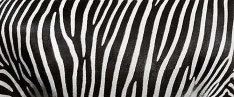 171147742 zebra background.JPG