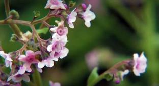 Little pink flowers.JPG