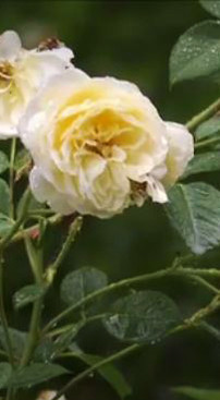 Roses close.jpg
