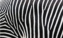 170615172 zebra.JPG