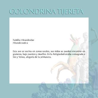 GOLONDRINA TIJERETA