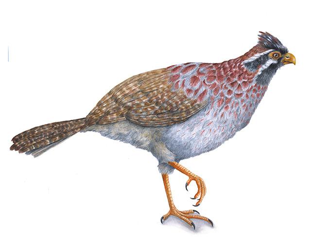 Dendrortyx macroura