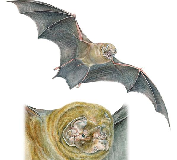 Murciélago-barba Arrugada - Mormoops megalophylla