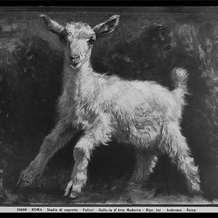 Estudio de cabra