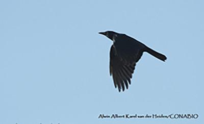 Cuervo sinaloense