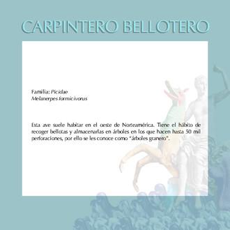 CARPINTERO BELLOTERO