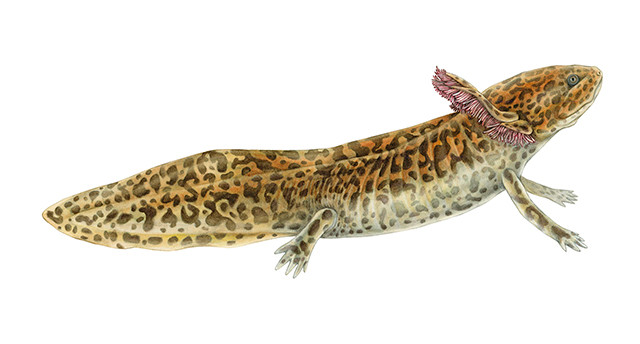 Achoque de Zacapu - Ambystoma andersoni