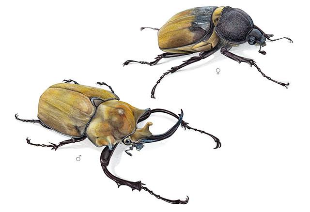 Escarabajo elefante - Megasoma elephas