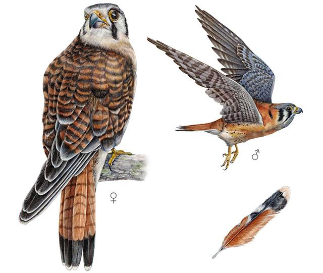 Cernícalo Americano - Falco sparverius