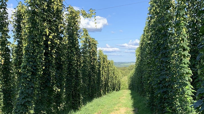 View from Alta Vista Farm. Northern Brewer on the left, Nugget on the right.