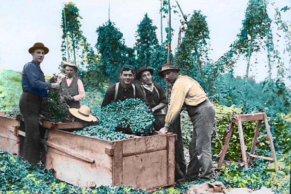Heritage Hops, Historic Hops, Feral Hops, Wild Hops, New York State Hops, New York State Grown and Certified,