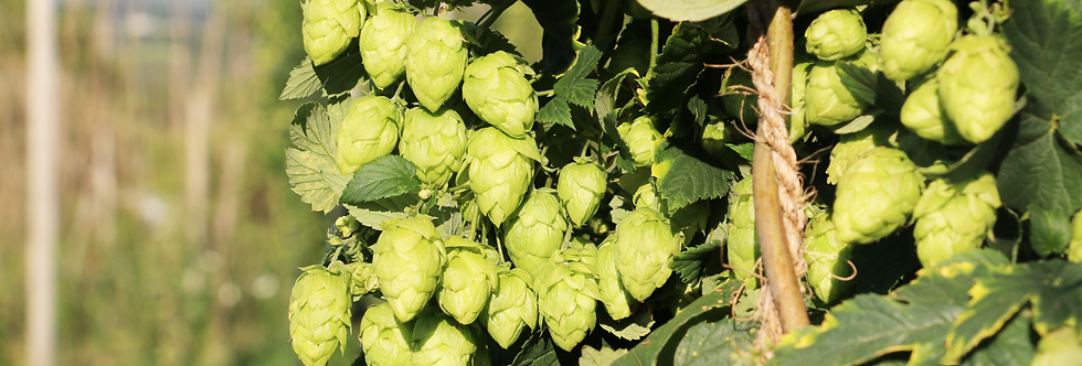 Close-up of NY State hops.