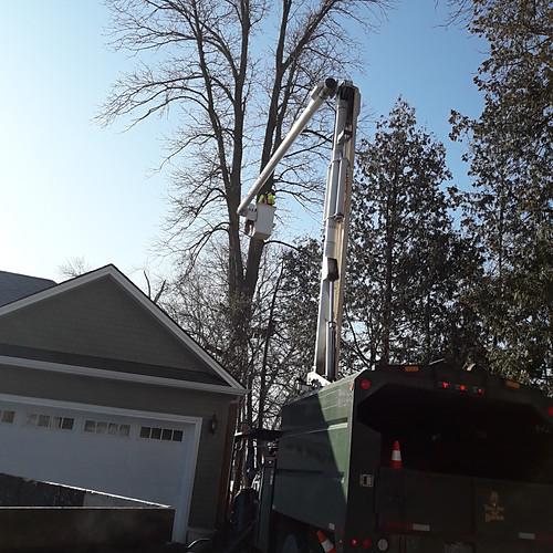 Large Dangerous Ash Tree Removal Innisfil, Ontario