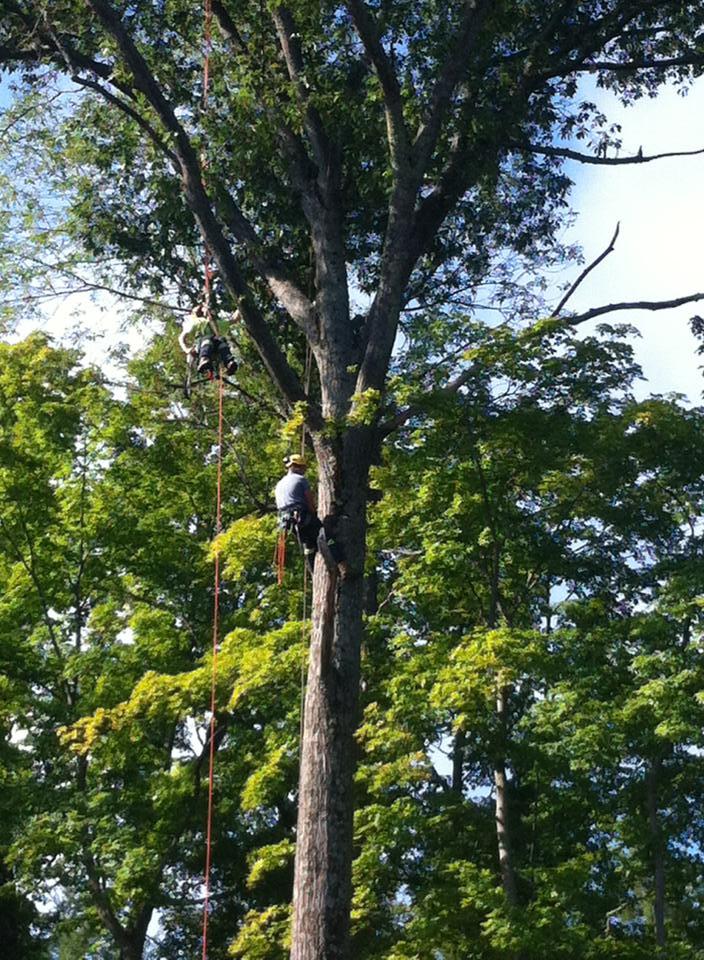 130' Oak Tree