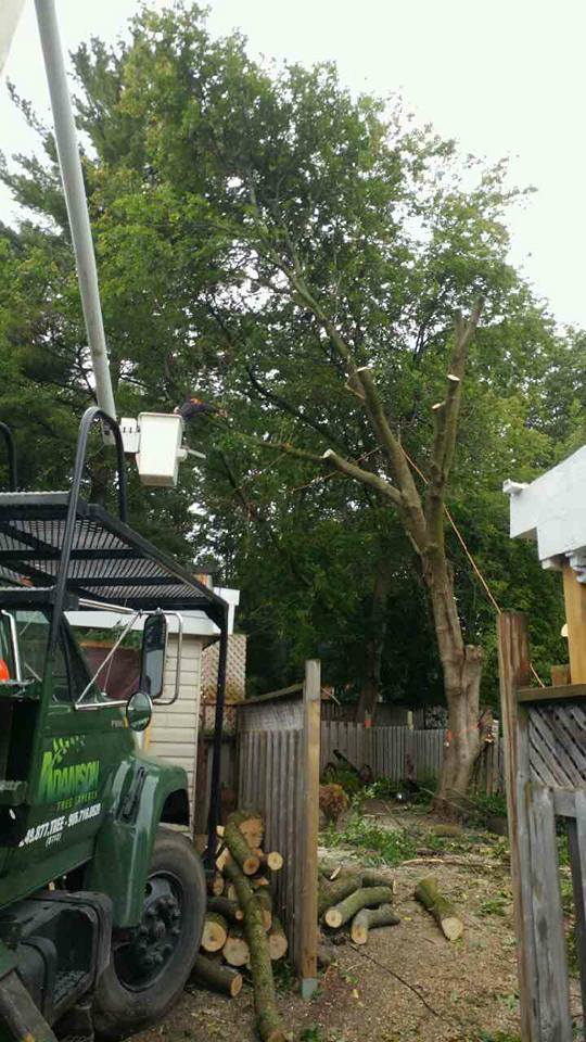 Large Manitoba Maple  Tree Removals