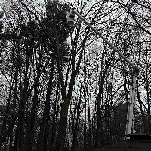 Oro Medonte, Ash Tree Removals