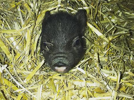 Makha, le cochon qui ne connaîtra jamais le spécisme