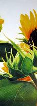 sunflover.jpg
