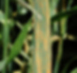 Stripe_rust_on_wheat.jpg