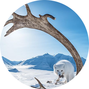 arctic fox caribou image-round.png